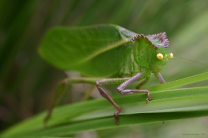 leafhopper