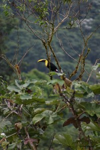 toucan in canopy